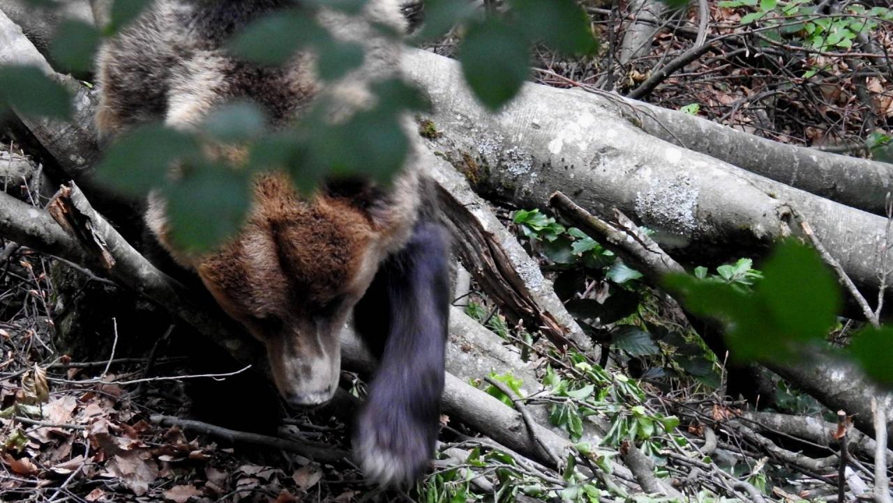 15301 orso bruno Michele Zeni